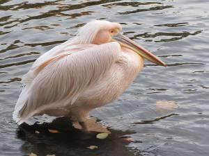 Розовый пеликан – Красная книга – кратко описание, фото