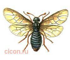 Прибайкальская абия – Красная книга – кратко описание, фото