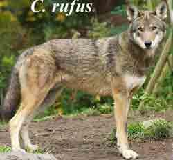 Рыжий волк – Красная книга МСОП – кратко описание, фото