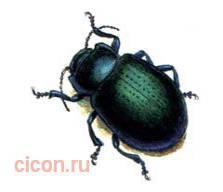 Урянхайский листоед – Красная книга – кратко описание, фото