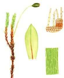 Милиххоферия крупноплодная – Красная книга – кратко описание, фото