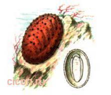 Амикула гурьяновой – Красная книга – кратко описание, фото