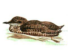 Азиатский длинноклювый  пыжик - Красная книга - кратко описание, фото