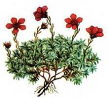 Камнеломка Динника – Красная книга – кратко описание, фото