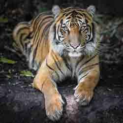 Суматранский тигр – Красная книга МСОП – кратко описание, фото
