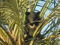 Белуджистанский белогрудый медведь – Красная книга МСОП – кратко описание, фото
