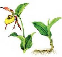 Венерин башмачок настоящий – Красная книга – кратко описание, фото