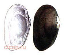 Миддендорффиная жадина – Красная книга – кратко описание, фото