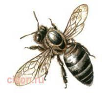 Восковая пчела – Красная книга – кратко описание, фото