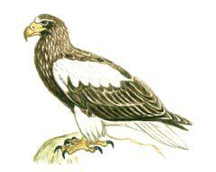 Белоплечий орлан - Красная книга - кратко описание, фото