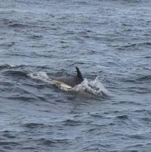 Атлантический белобокий дельфин – Красная книга – кратко описание, фото