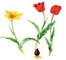 Тюльпан Шренка – Красная книга – кратко описание, фото