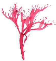 Пантонейра Юргенса – Красная книга – кратко описание, фото