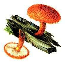 Лепиота древесинная – Красная книга – кратко описание, фото