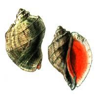Моллюски Красной книги – Красная книга – кратко описание, фото