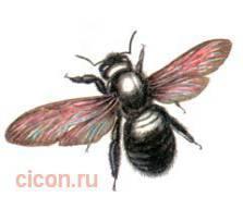 Пчела - плотник – Красная книга – кратко описание, фото