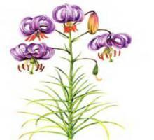 Лилия поникающая – Красная книга – кратко описание, фото