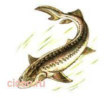 Сибирский осетр, байкальский подвид – Красная книга – кратко описание, фото