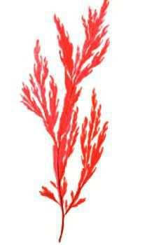 Мембраноптера диморфная – Красная книга – кратко описание, фото