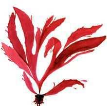 Нинбургия пролиферирующая – Красная книга – кратко описание, фото