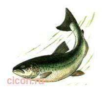 Озерный лосось – Красная книга – кратко описание, фото