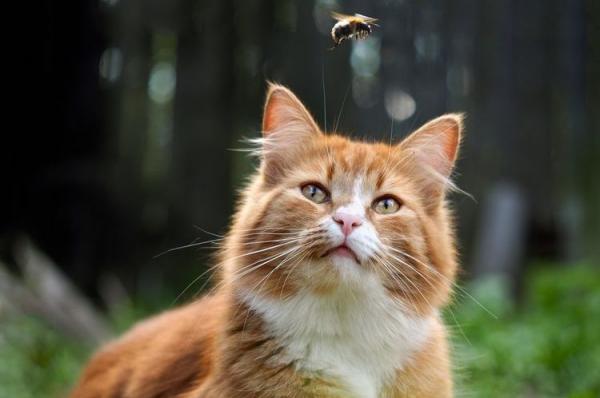 Что делать если кошку укусила оса  в лапу, в губу, фото, лечение - Это интересно