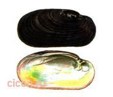 Жемчужница тиуновой – Красная книга – кратко описание, фото