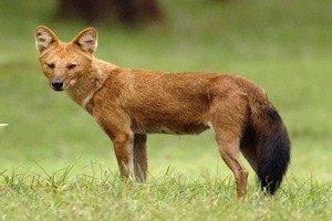 Красный волк – Красная книга – кратко описание, фото