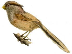 Тростниковая сутора – Красная книга – кратко описание, фото