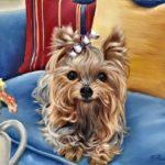 Сказка о собаке - Мой пес тоже йоркширец - с картинками читать онлайн