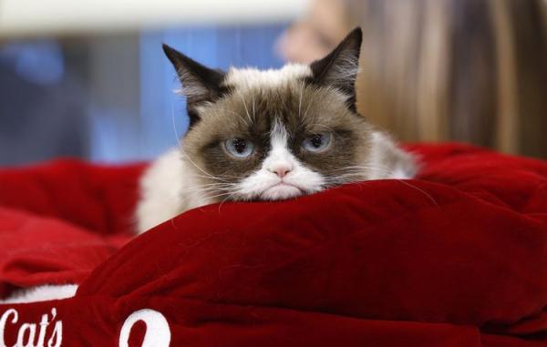 Самая сердитая кошка в мире: фото, порода - Это интересно