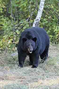 Ледниковый медведь – Красная книга МСОП – кратко описание, фото