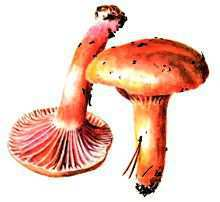 Мокруха желтоножковая – Красная книга – кратко описание, фото