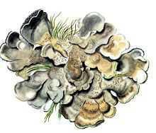 Коккокарпия палмикола – Красная книга – кратко описание, фото