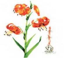 Лилия ложнотигровая – Красная книга – кратко описание, фото