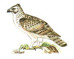 Хохлатый орел – Красная книга – кратко описание, фото