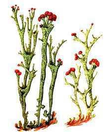 Кладония грациозновидная – Красная книга – кратко описание, фото