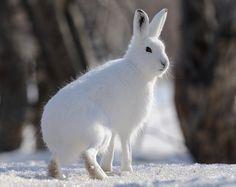Заяц-беляк - краткое описание и фото - для детей