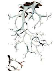Еверниаструм усиковый – Красная книга – кратко описание, фото