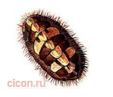 Мопалия миддендорфа – Красная книга – кратко описание, фото
