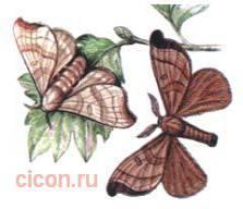 Дикий тутовый  шелкопряд – Красная книга – кратко описание, фото