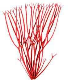 Анфельция равновершинная  – Красная книга – кратко описание, фото