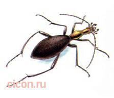 Морщинистокрылая жужелица – Красная книга – кратко описание, фото