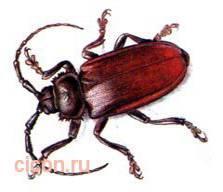 Зубчатогрудый дровосек – Красная книга – кратко описание, фото