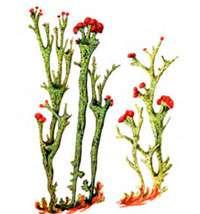 Лишайники – Красная книга – кратко описание, фото