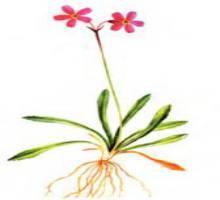 Первоцвет чукотский – Красная книга – кратко описание, фото