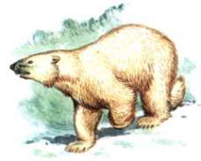 Белый медведь – Красная книга – кратко описание, фото