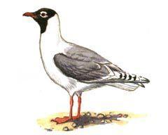 Реликтовая чайка - Красная книга - кратко описание, фото