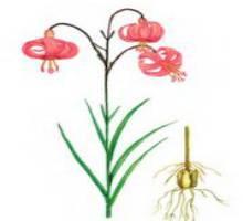 Лилия мозолелистая – Красная книга – кратко описание, фото
