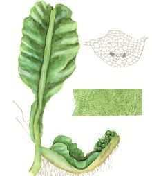 Хатториантус одноопушенный – Красная книга – кратко описание, фото